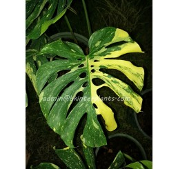 "Philodendron "" Monstera variegated Thai Constellation """