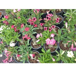"500 Seeds "" Adenium Mixed Seeds """