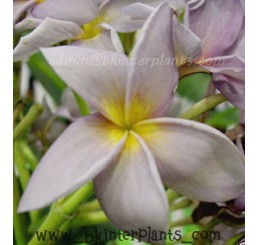 "Plumeria "" Blue Canyon No.2 """