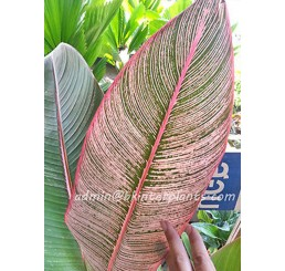 "Heliconia "" RAINBOW LEAVE VARIEGATED """