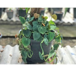 """Philodendron """" Lupinum """""""