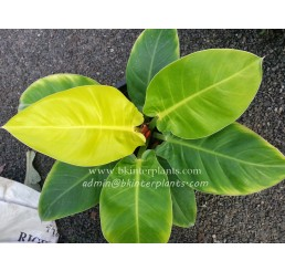 "Philodendron "" Moonlight Yellow Leaf """