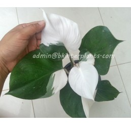 "Philodendron "" White Knight 2 Tone Variegated """