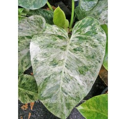 "Philodendron "" Elephant Ear Variegated"""