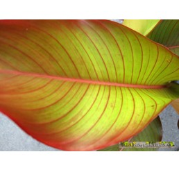 "Heliconia "" Red Leaf """